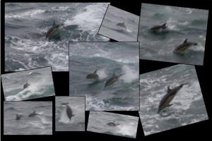 Dolphins swimming beside the ship